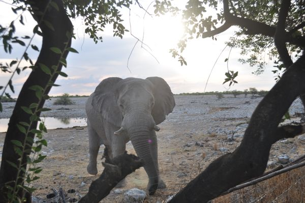 An elephant venturing close at the watering hole
